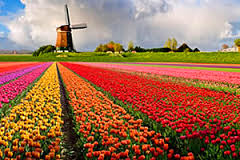 цветы голландия
